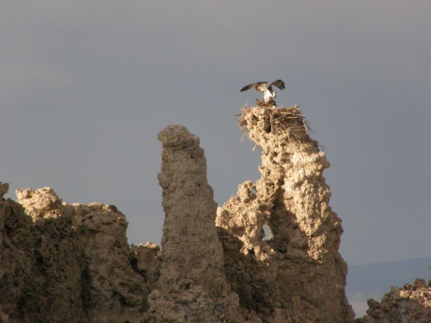 Osprey alights atop the tufa tower. Photo by Carol Underhill.