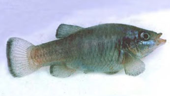 Owens River Pupfish, courtesy of California Department of Fish and Wildlife.