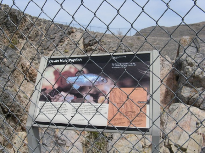 Kevin's been documenting the management of the Devils Hole pupfish, which number less than 100 and survive just below this fence in a limestone cavern some 20 feet across. Photo by Kristine Zeigler.