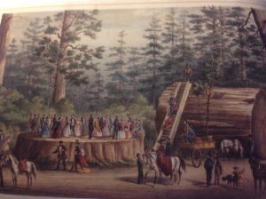 The fate of all giant sequoia trees could have been thus: Lithograph of the stump and trunk of a giant sequoia from the Calaveras Grove near Yosemite showing a group of 32 people dancing on the stump.